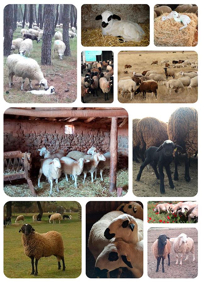 Collage fotos ovejas IPG Lechazo Castilla y León